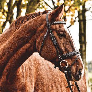 Le licol de cheval, votre allié pour mieux apprivoiser votre animal